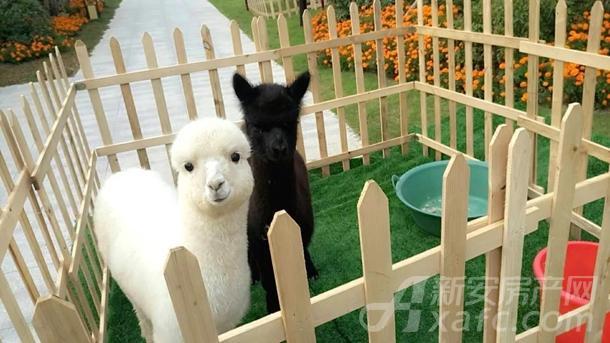 祥源生态城羊驼展示